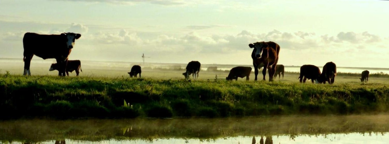 Blaarkop koeien